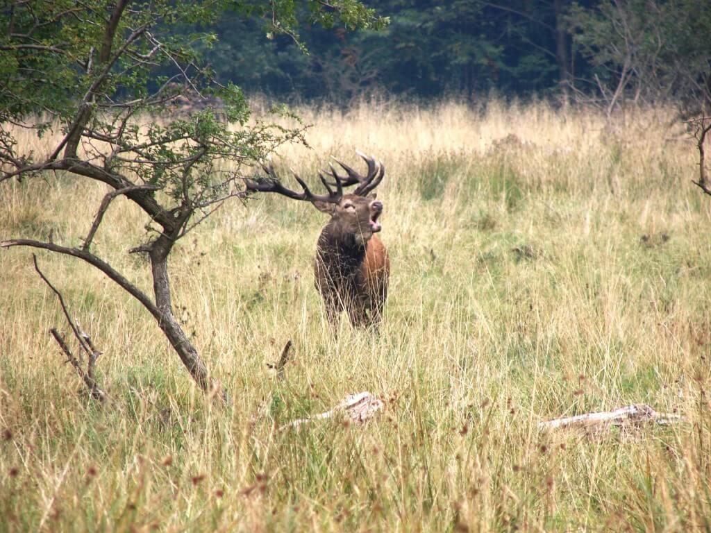 deer during rut
